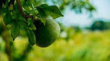 بیل گری پھل کے فوائد