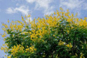 سنا مکی کا پودا