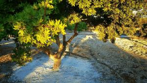مصطگی رومی کا درخت