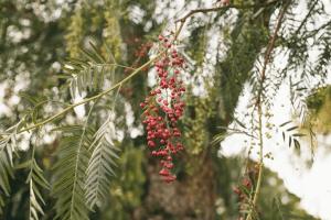 مصطگی رومی کے تنے اور پھل