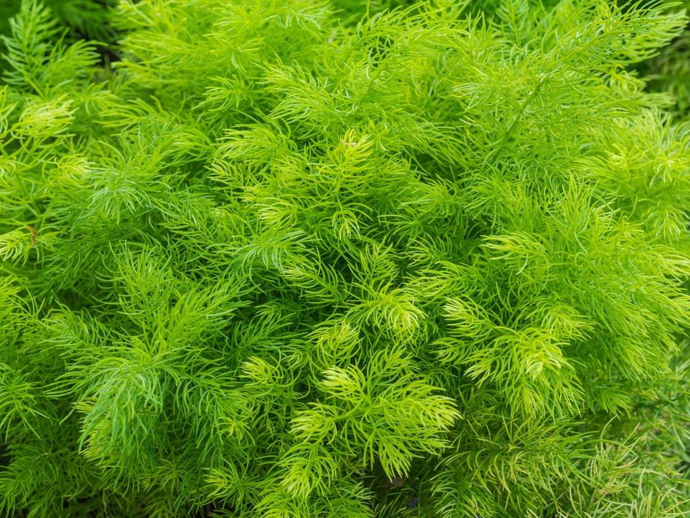 ستاور کے پودے