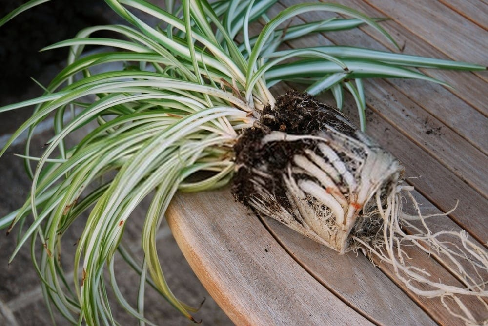 موصلی سفید کا پودا