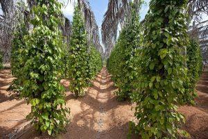 کالی مرچ کے پودے