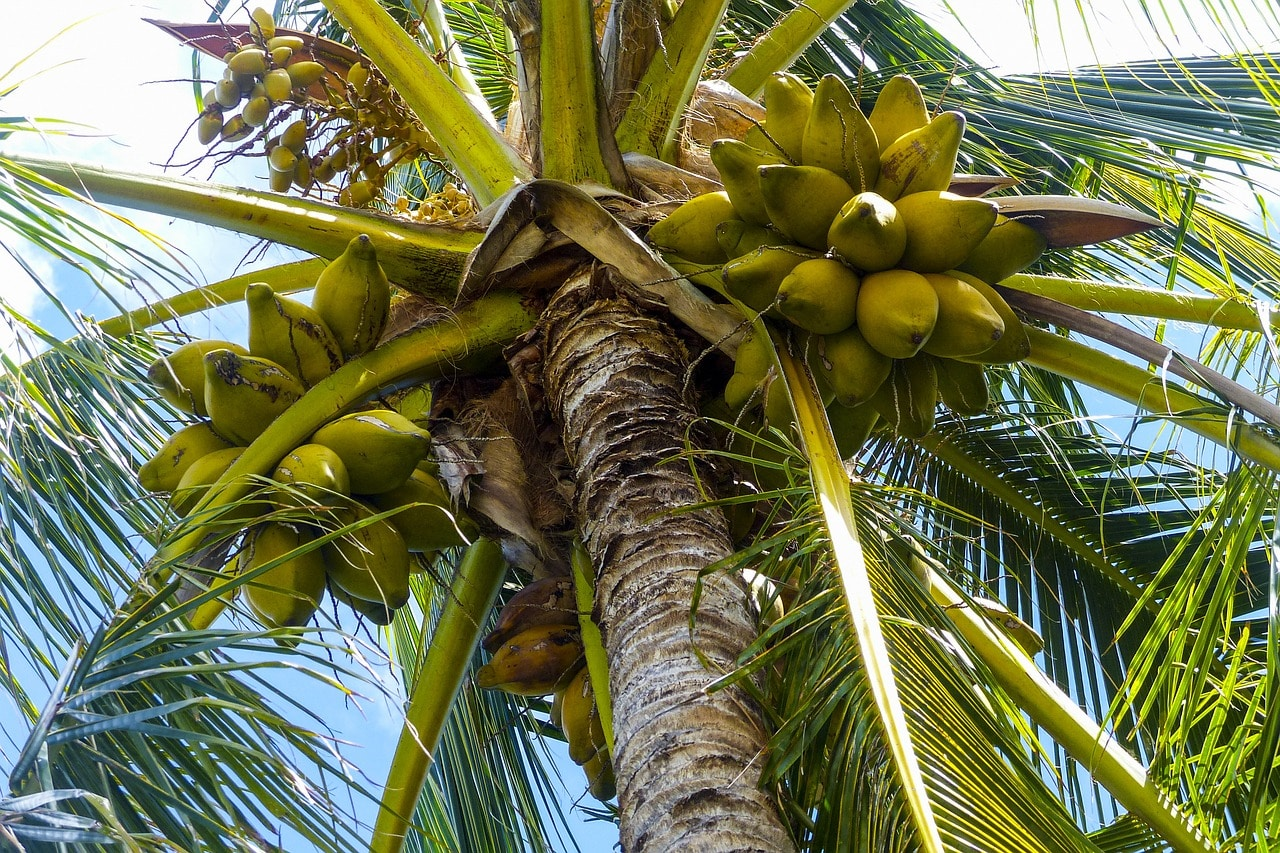 نارجیل (ناریل) کا درخت