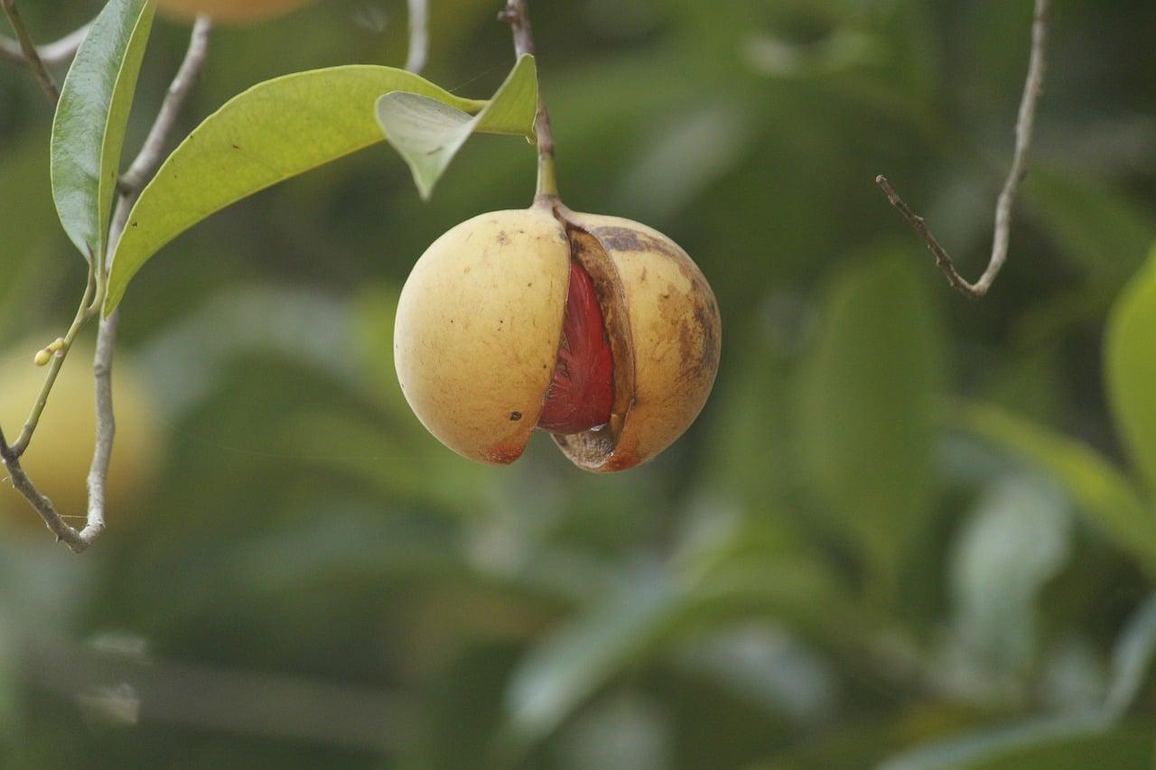جائفل کا پودا